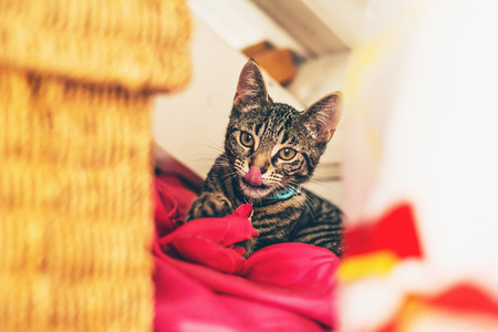 looking towards camera: Funny gray tabby kitten with tongue sticking out lying on red pillow looking towards camera