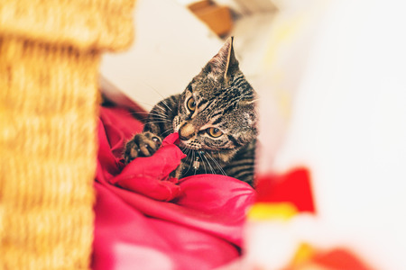 looking towards camera: Naughty biting grey tabby kitten lying on red pillow looking towards camera Stock Photo
