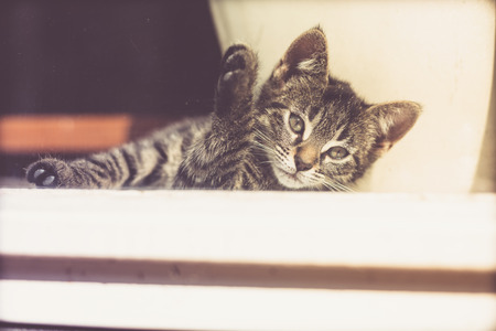 gray tabby: Cute Gray Tabby Kitten Resting Near the Glass Window Inside the House, Looking Into Distance in a Pensive Facial Expression.