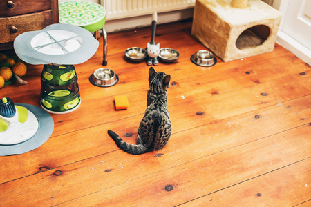 grey tabby: Hungry grey tabby kitty sitting on a wooden floor in the house patiently watching its food bowls waiting for dinner, high angle view with copyspace