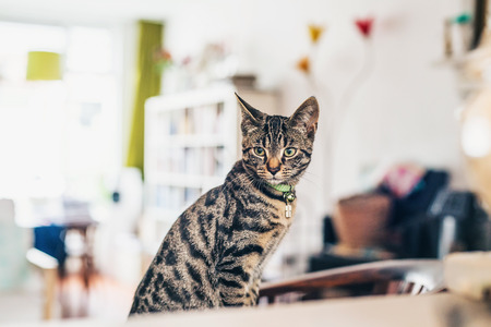 grey tabby: Young grey tabby cat sitting in the living room staring thoughtfully off to the side across a wooden table, high key window background with copyspace