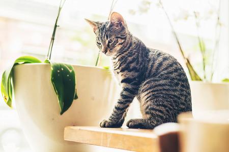 clave sol: Pensativo gato atigrado gris que se sienta en el sol brillando a trav�s de una gran ventana en la esquina de una mesa de madera en el interior de la casa, vista lateral con fondo clave de alta