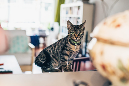 grey tabby: Curious grey tabby cat sitting indoors at home in the living room staring intently at the camera over a wooden table, view past a ceramic bowl and lid