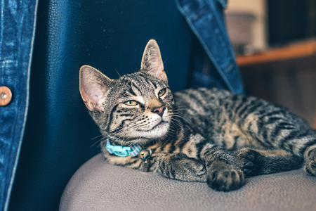 contented: Close up Gray Striped Tabby Cat Pet with Light Blue Collar Resting on a Chair and Looking Up Seriously.