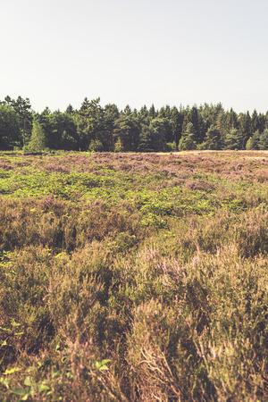 heathland: Heathland Blossom Landscape with Pine Tree Forest on Horizon and Blue Sky.