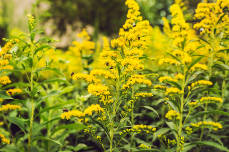 yellow blossom: Plants with Yellow Blossom and Flies. Stock Photo