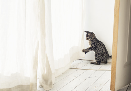 Playful tabby kitten playing with curtain.