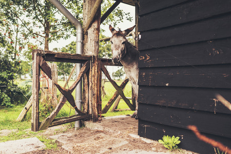 looking around: Donkey looking around corner of stable. Stock Photo