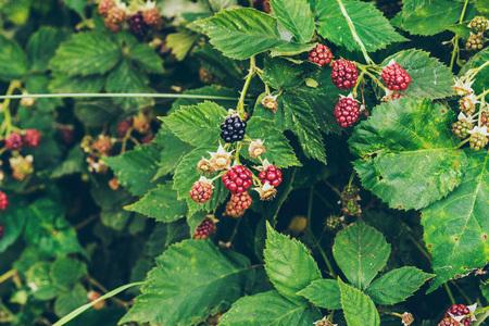 bear berry: Blackberies bush with one ripe.