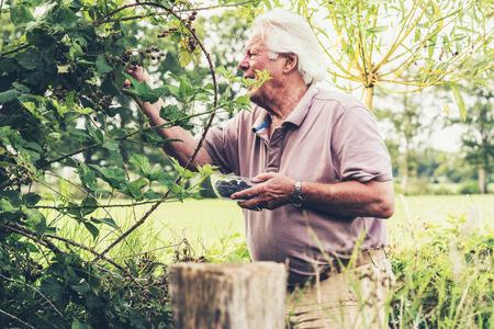 picking: Senior man picking blackberries. Stock Photo