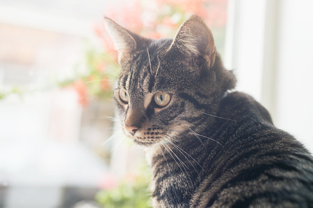 looking towards camera: Young tabby cat sitting in front of window looking towards camera. Stock Photo