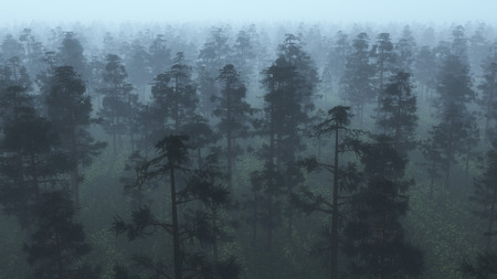 Aerial of misty pinewood.