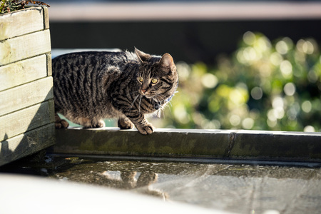 crouch: Alert tabby walking on edge of roof.