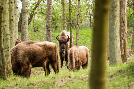 sticking out tongue: Bison calf sticking out tongue Stock Photo