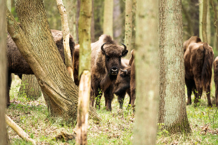 looking towards camera: Bison in forest looking towards camera Stock Photo