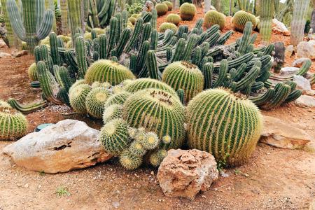 mallorca: Different species of cacti in botanical garden. Botanicactus. Mallorca. Spain. Stock Photo