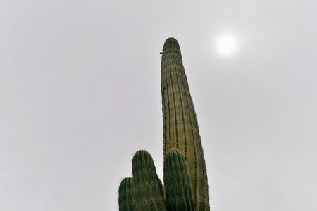 gray: Cactus against gray sky