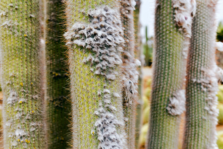 lint: Close-up of cacti with lint in garden. Stock Photo