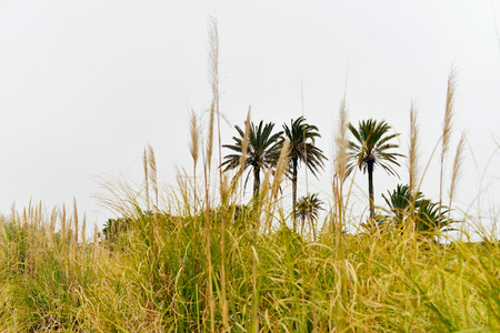 three palm trees: Three palm trees seen through high grass. Stock Photo