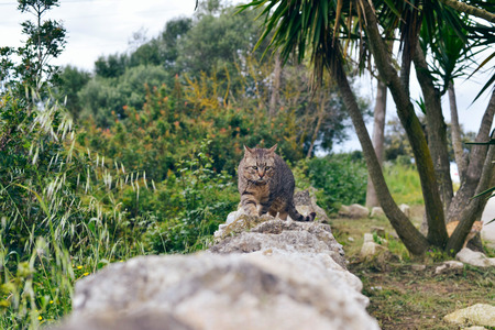 cat island: Tabby cat walking over stone wall in garden. Majorca. Balearic island. Spain. Stock Photo