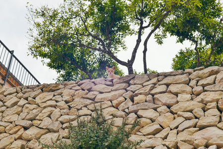 eyes looking down: Curious red cat looking over stone wall in garden. Mallorca. Spain. Stock Photo