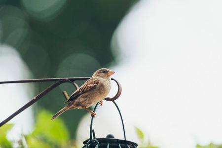 bird feeder: Tree Sparrow at hanging bird feeder