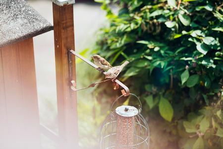bird feeder: Two tree sparrows at bird feeder holder in garden