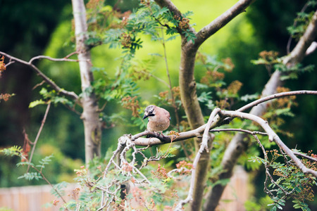 glandarius: Eurasian Jay (Garrulus glandarius) perched on a tree branch in Dutch garden in summer