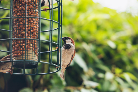bird feeder: Tree Sparrow (Passer montanus) group at hanging bird feeder, Europe
