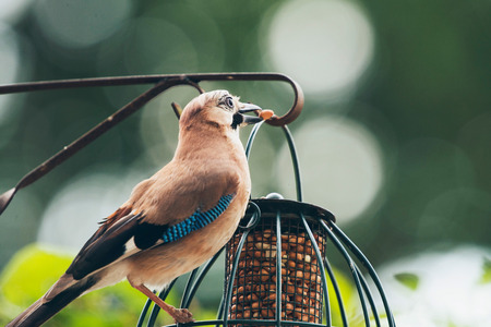 glandarius: Eurasian Jay (Garrulus glandarius) adult, feeding from hanging feeder, Leiden, The Netherlands, June