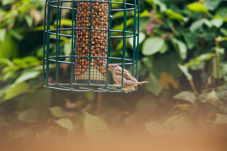 bird feeder: Tree Sparrow feeding from bird feeder