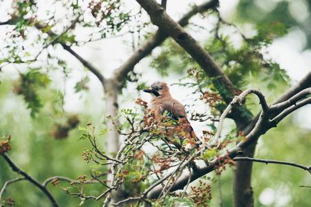 jay: Eurasian Jay (Garrulus glandarius) adult, perched on tree branch in garden, Leiden, The Netherlands, June