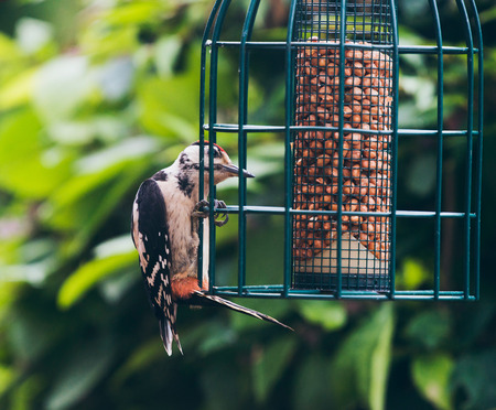 dendrocopos: Lesser Spotted Woodpecker (Dendrocopos minor) perched on hanging peanut feeder.