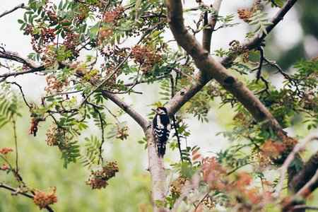 dendrocopos: Lesser Spotted Woodpecker (Dendrocopos minor) perched on branch