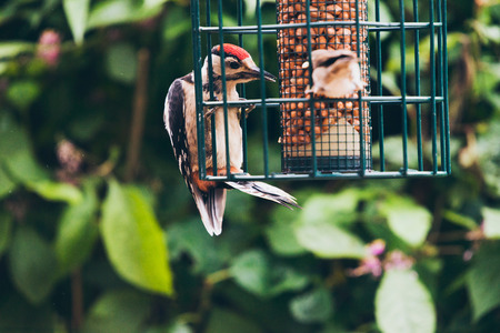 dendrocopos: Lesser Spotted Woodpecker (Dendrocopos minor) and house sparrow on hanging peanut feeder.