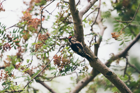 dendrocopos: Lesser Spotted Woodpecker (Dendrocopos minor) hanging on branch