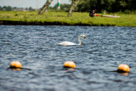 mute swan: Mute Swan (Cygnus olor), swimming, Leiden, The Netherlands, July