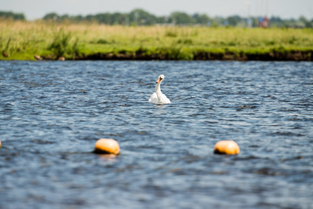 cygnus olor: Mute Swan (Cygnus olor), swimming, Leiden, The Netherlands, July