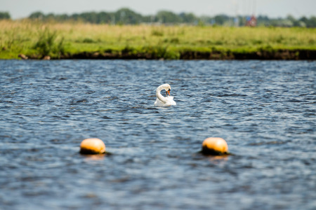 Mute Swan (Cygnus olor) cleaning feathers. Leiden. Zuid-Holland. The Netherlands. Stock Photo