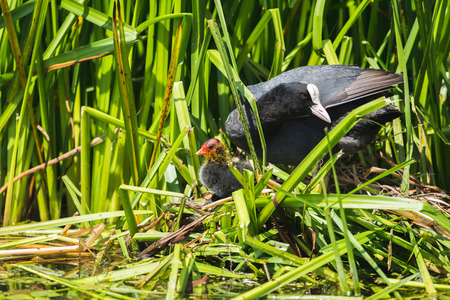 fulica: Common Coot (Fulica atra) parent with chick on nest, Leiden, Zuid-Holland, Netherlands