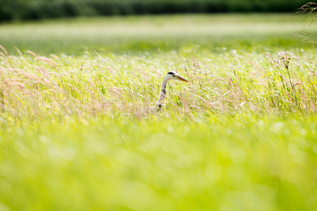 sideview: Grey Heron (Ardea cinerea) sideview in grass. Leiden. Zuid-Holland. The Netherlands.