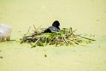 fulica: Coot (Fulica atra) on nest, Leiden, Zuid-Holland, Netherlands