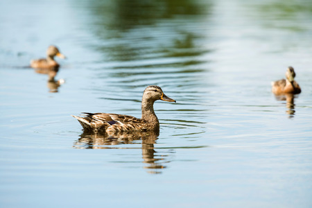 anas platyrhynchos: Three female mallard ducks (Anas platyrhynchos) swimming in ditch in summer, Leiden, The Netherlands Stock Photo