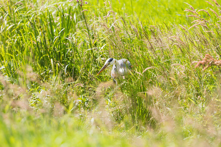 gray herons: Grey Heron (Ardea cinerea) looking for food in summer in a meadow