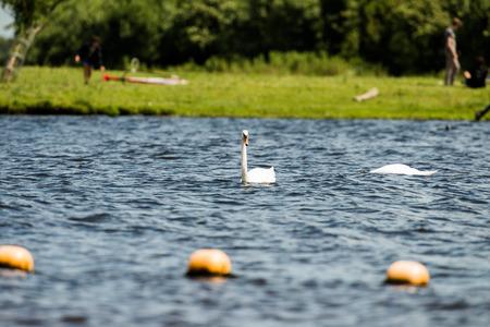 olor: Mute Swan (Cygnus olor), swimming, Leiden, The Netherlands, July