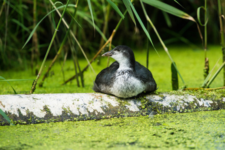 Youngster coot resting on tree trunk near reed. Leiden. Zuid-Holland. The Netherlands.
