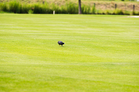 Foraging coot on empty field of golf course Stock Photo