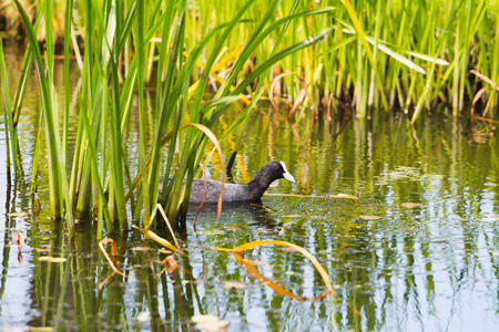 Coot swimming between reed in summer