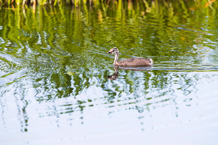 juvenile: Juvenile great crested grebe swimming near reed Stock Photo