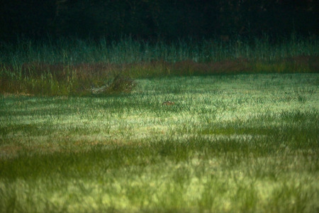 flash of light: Hare in field at dusk with flash light in eyes.